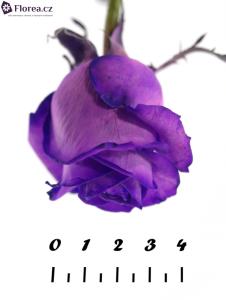 Květ fialové růže
